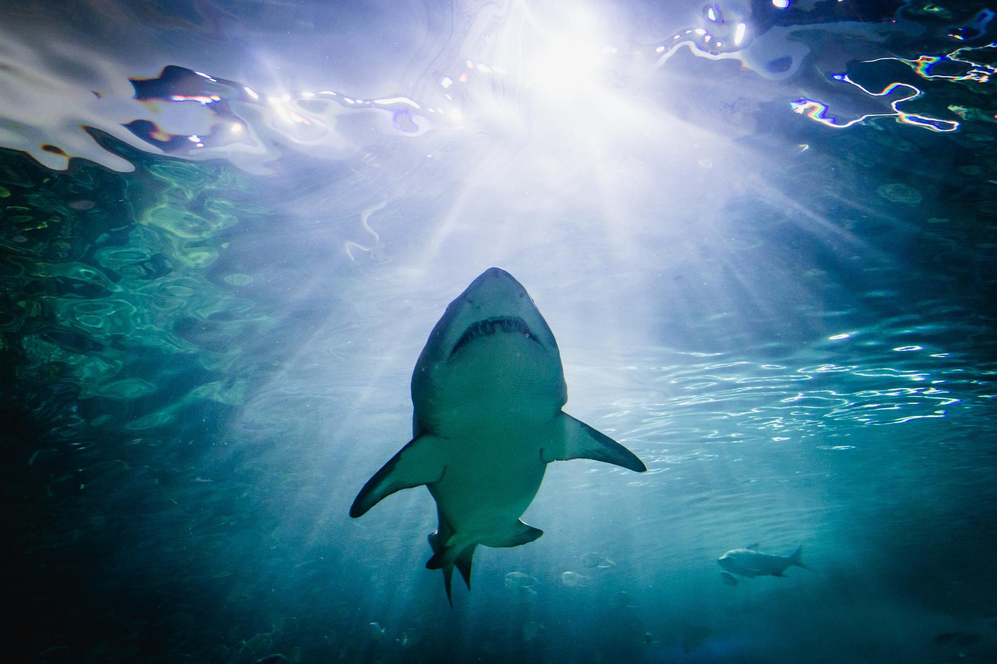 A shark at the Ripley's Aquarium of Canada