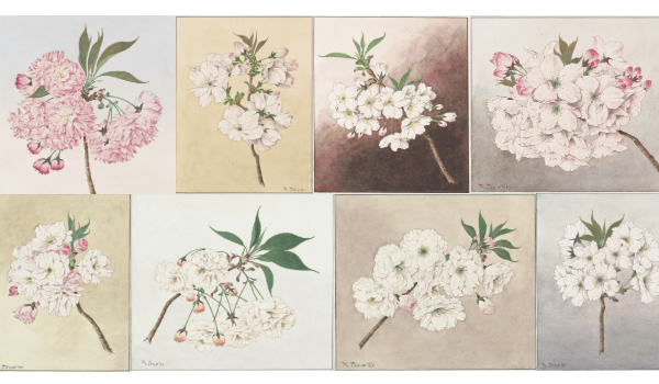 Just in time for this year's bloom, Smithsonian Books presents a delightful new offering Cherry Blossoms: Sakura Collections from the Library of Congress.