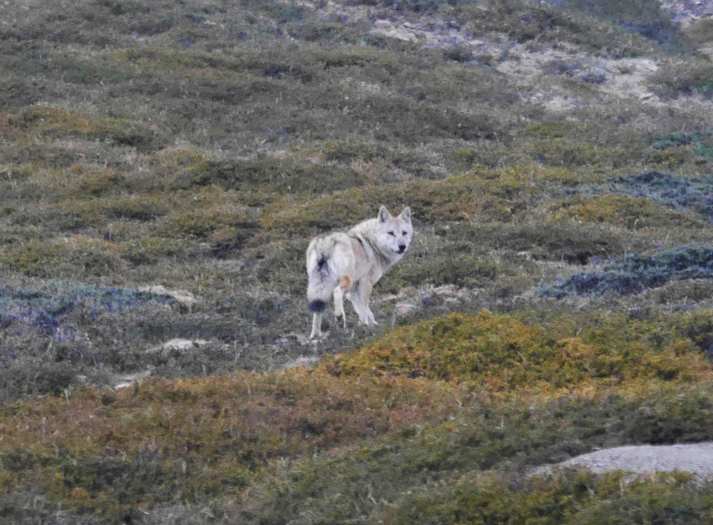 Himalayan Wolf In the Mountains