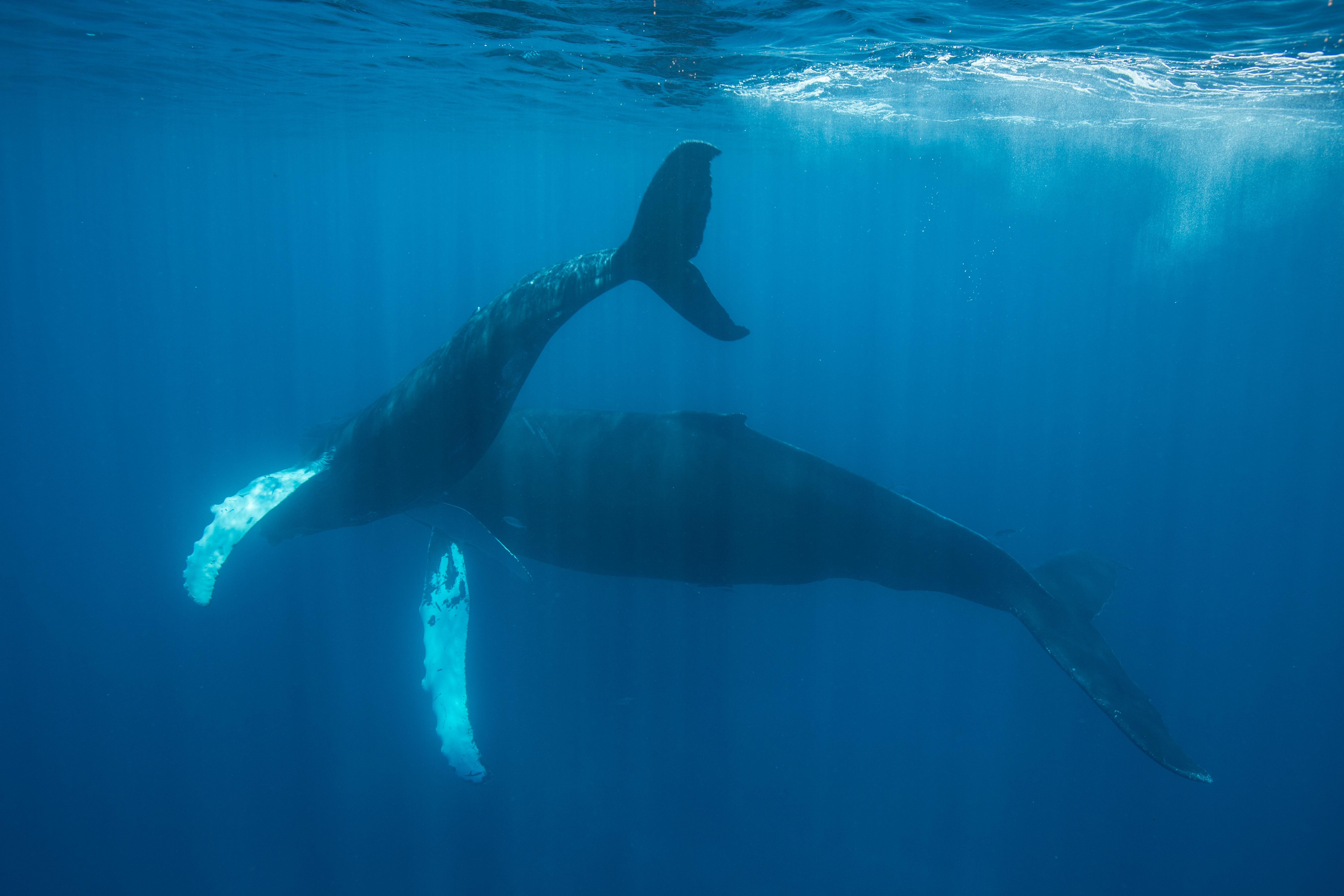Mother and Calf Whale