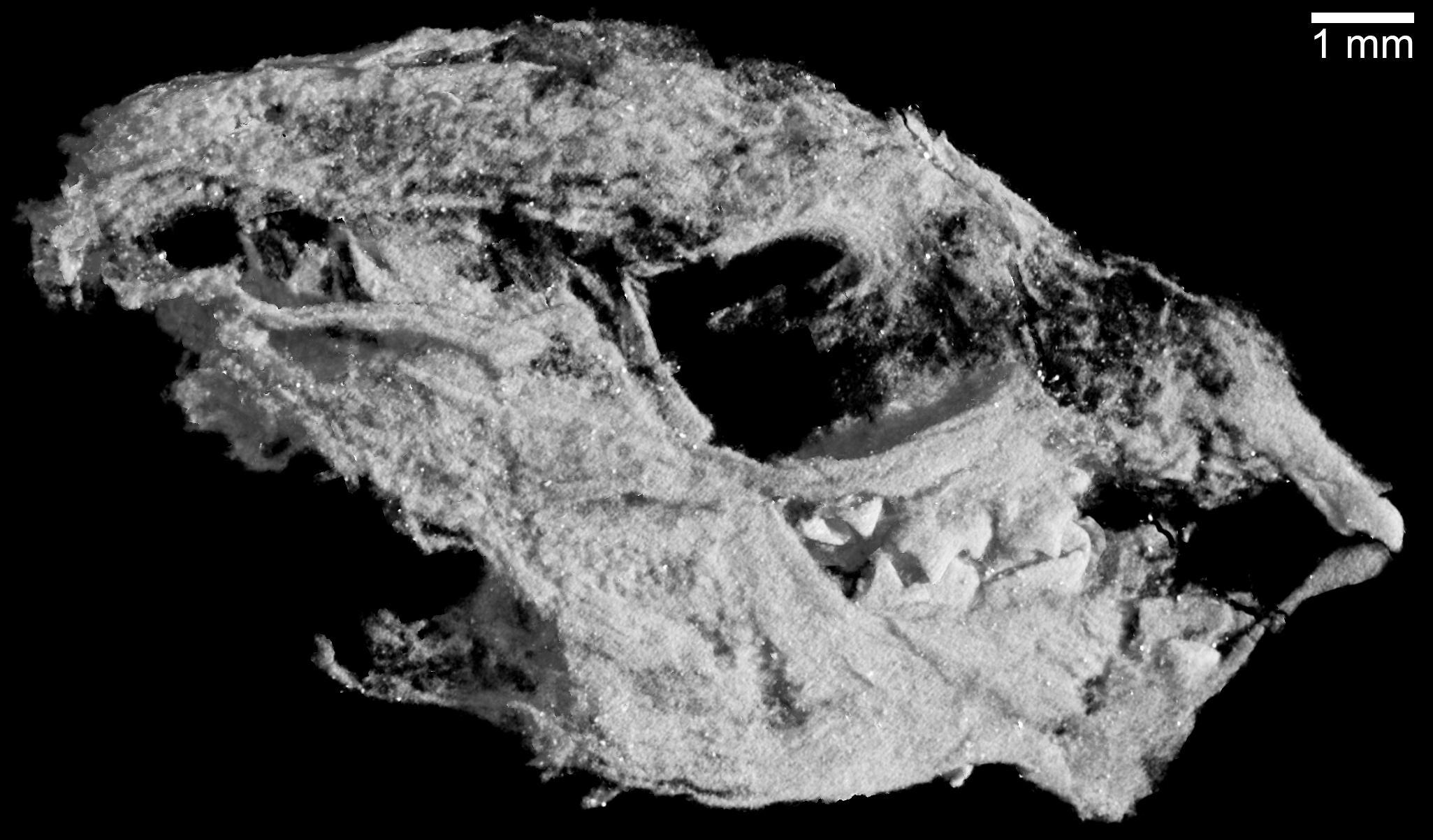 Baby Kayentatherium