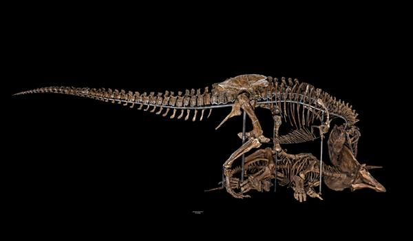 You can download 3-D print-ready files of the Tyrannosaurus rex and Triceratops skulls.