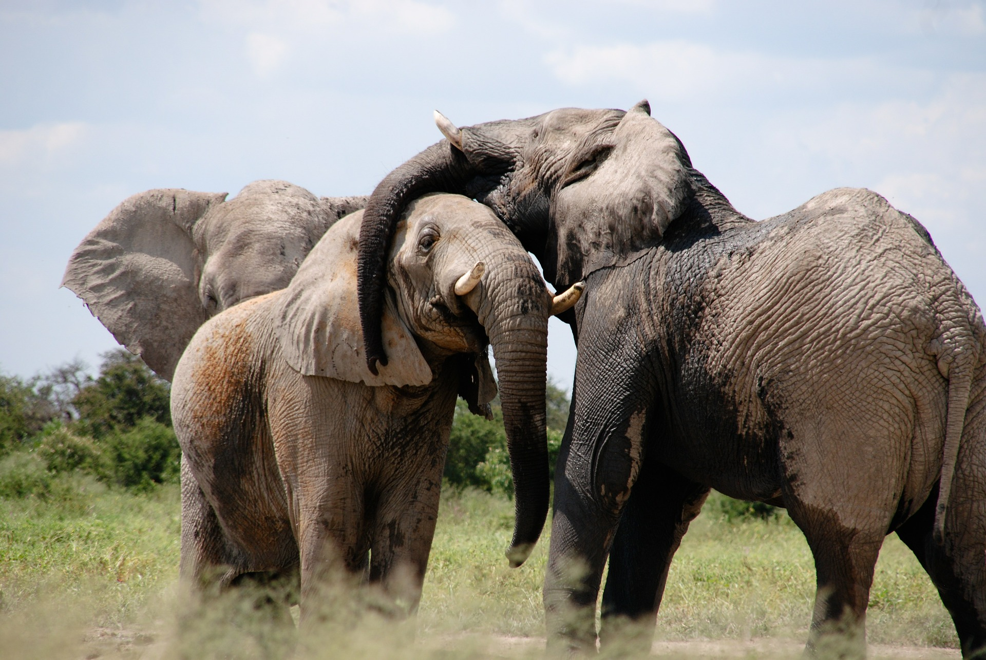 elephants evolved to have undescended testes