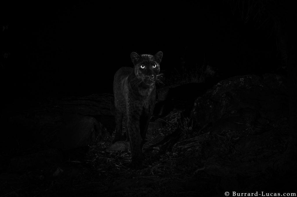 【ケニア】アフリカで約「110年ぶり」に野生のクロヒョウが撮影される [02/14] YouTube動画>1本 ->画像>8枚