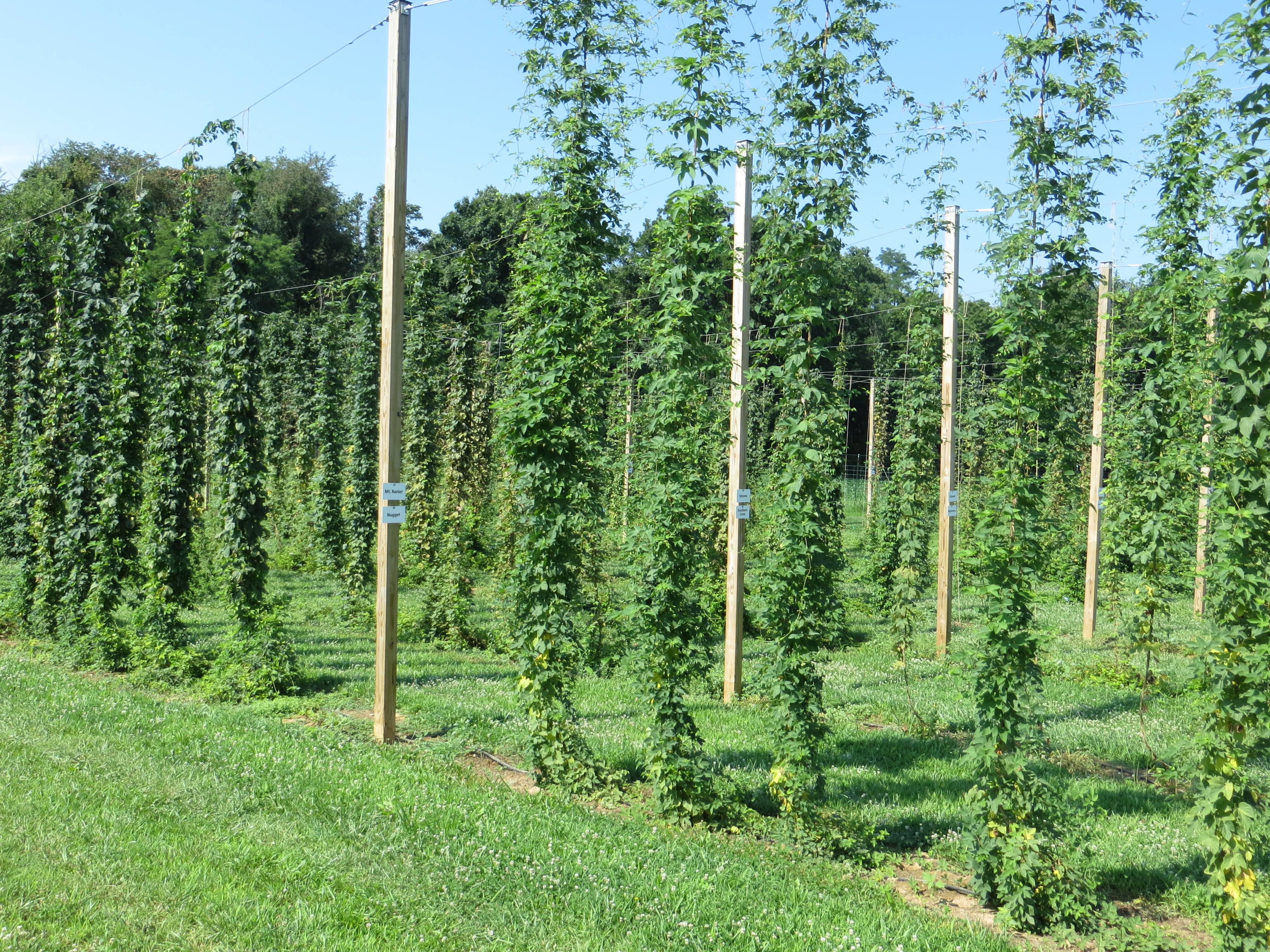 A view of the hop bines at the University of Maryland farm