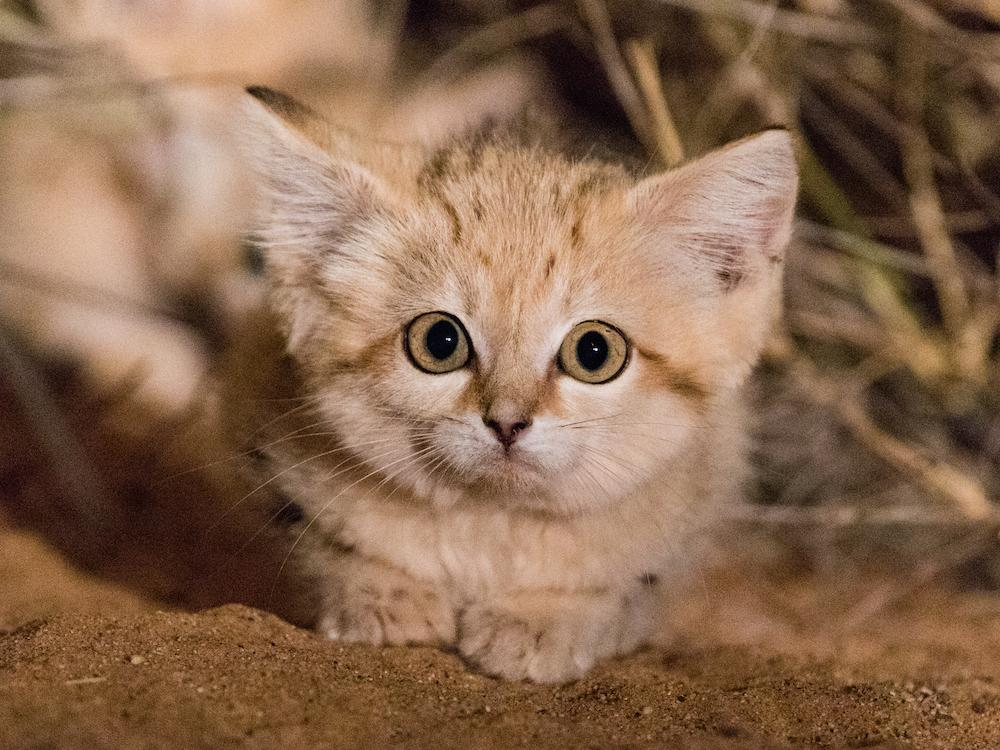 Sand Cats 1