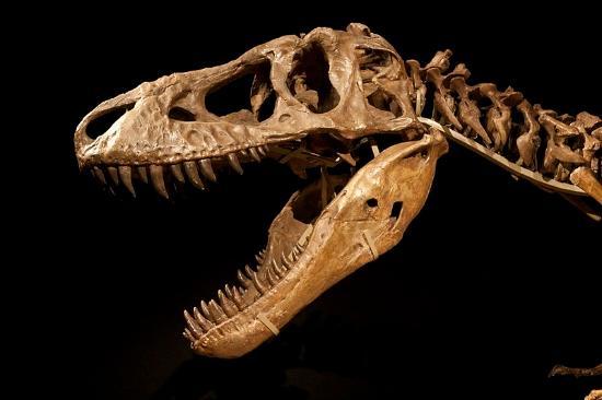 The auctioned Tarbosaurus skeleton