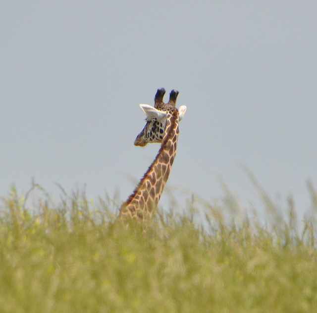 Afholte Is This Mother Giraffe Mourning Her Dead Baby? | Smart News VR-56