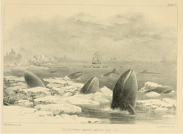 California Gray Whales Cropped