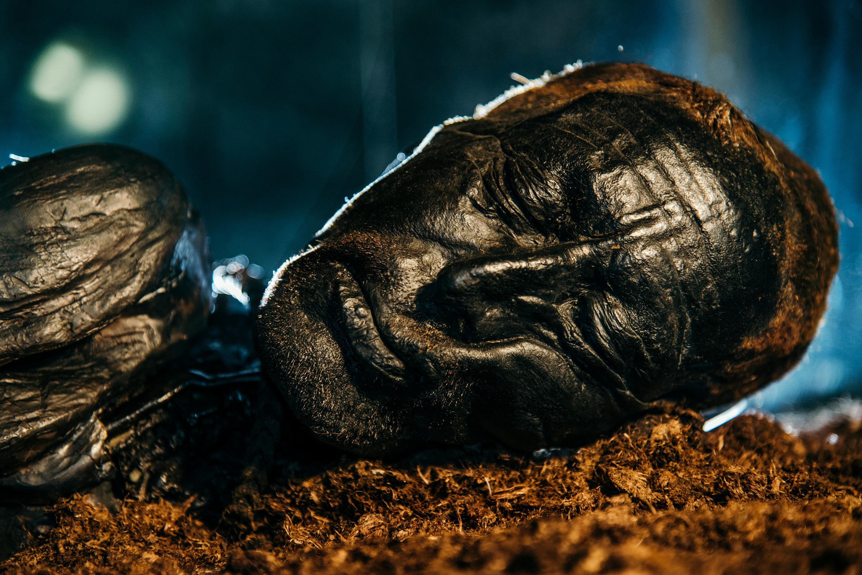 Tollund Man is the best-looking and best-known member of an elite club of preserved cadavers