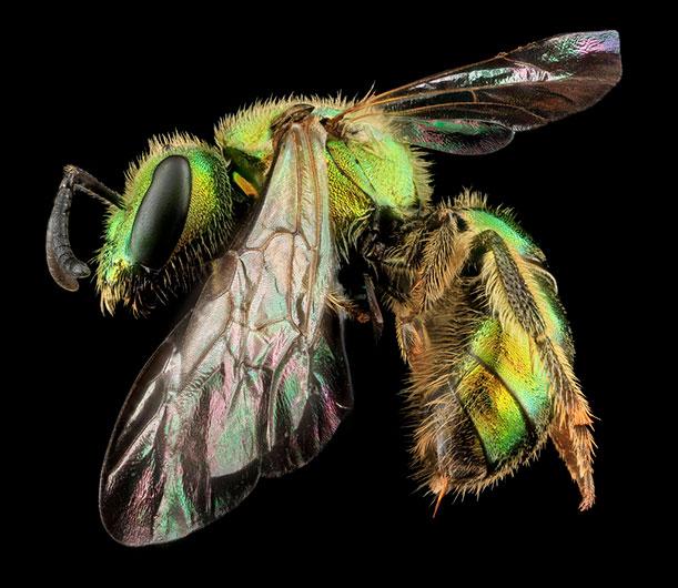 Augochlorella aurata, Boonesboro, Maryland