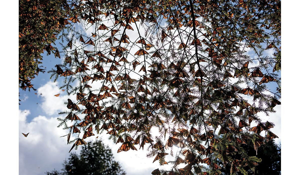 Butterflies in Mexico's monarch reserve. Their wings can function as solar panels, converting sunlight into energy for flight.