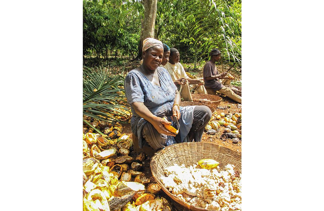 Harvesting Cacao