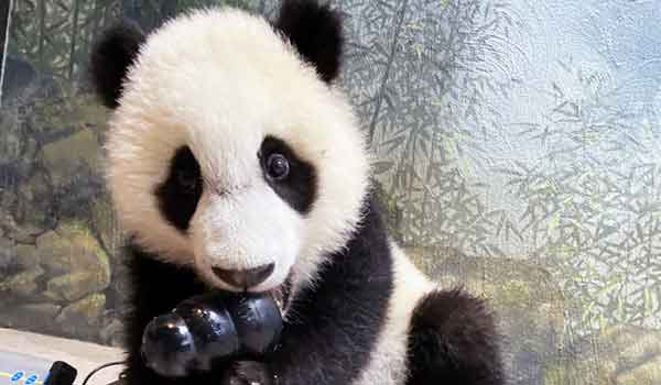 When the Zoo opens on May 21, visitors will be able to meet baby panda cub Xiao Qi Ji in person. But fair warning—he might be napping.