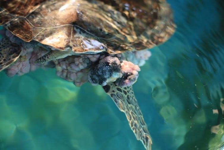 A large fibropapillomatosis tumor mass on a juvenile green sea turtle.