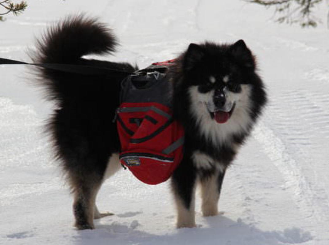 A Finnish Lapphund