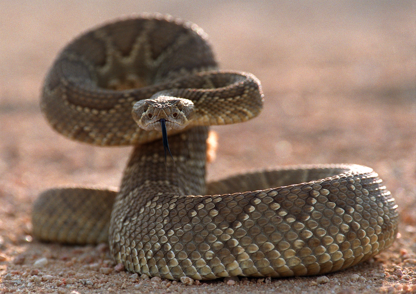 Rattlesnakes can bite after death.