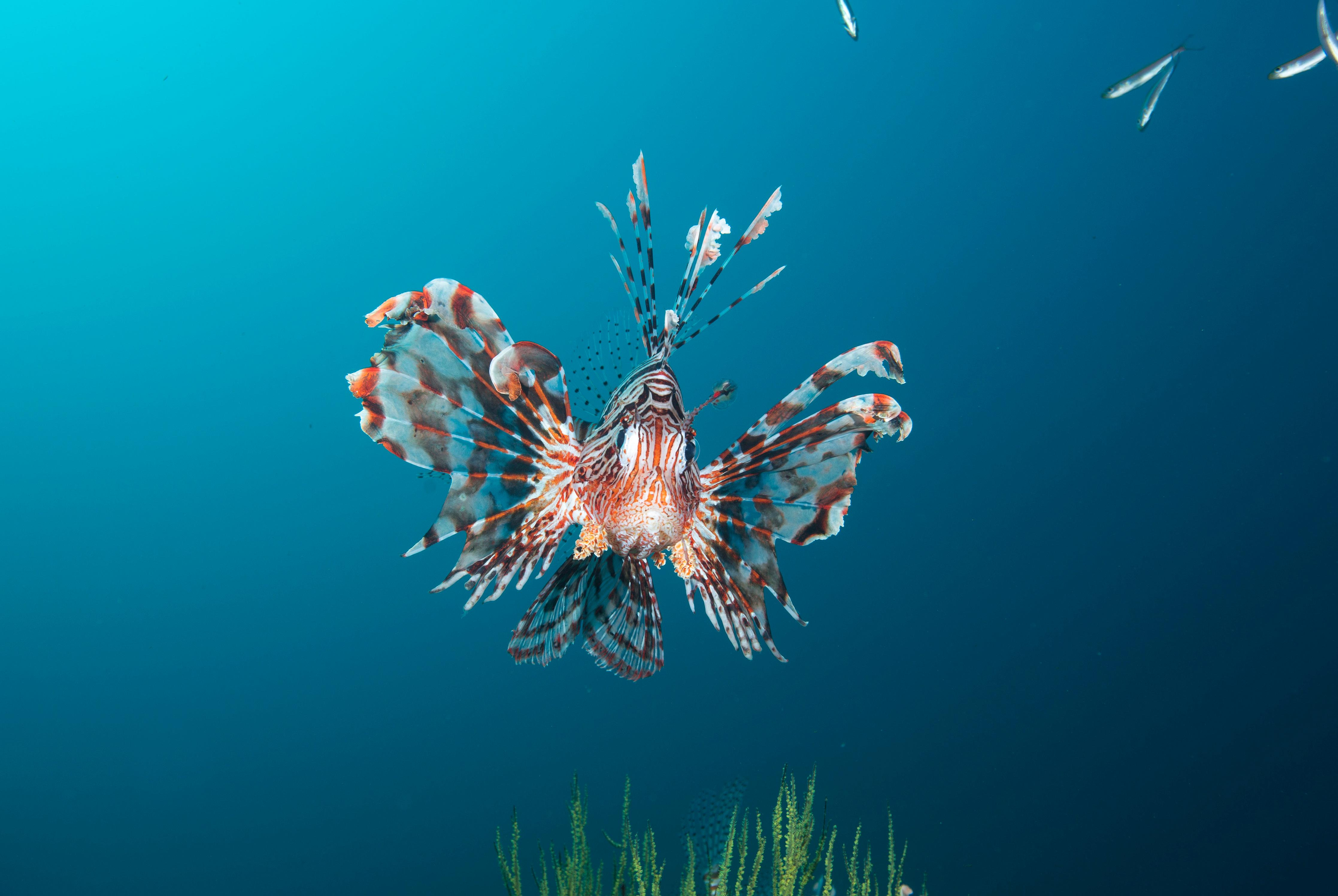 Beautiful lion fish on a coral reef