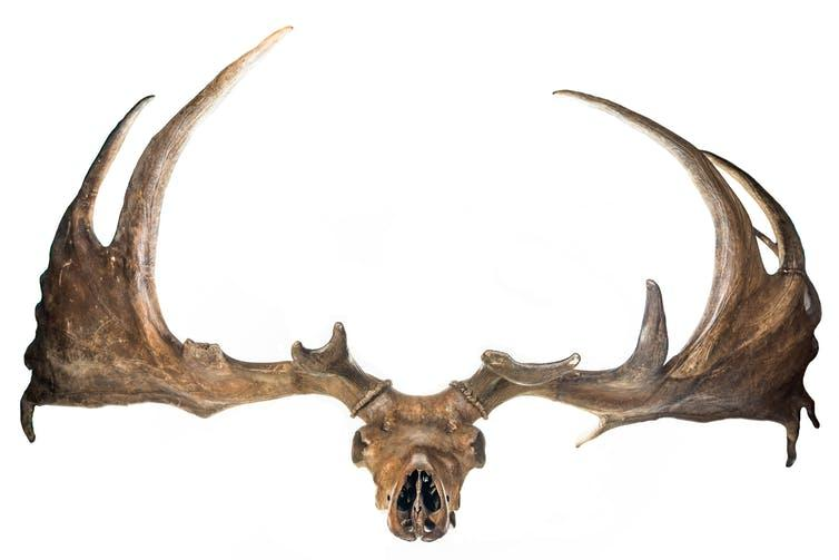 Ice age giant deer are a mainstay of natural history museums - the males' antlers approached four metres across.