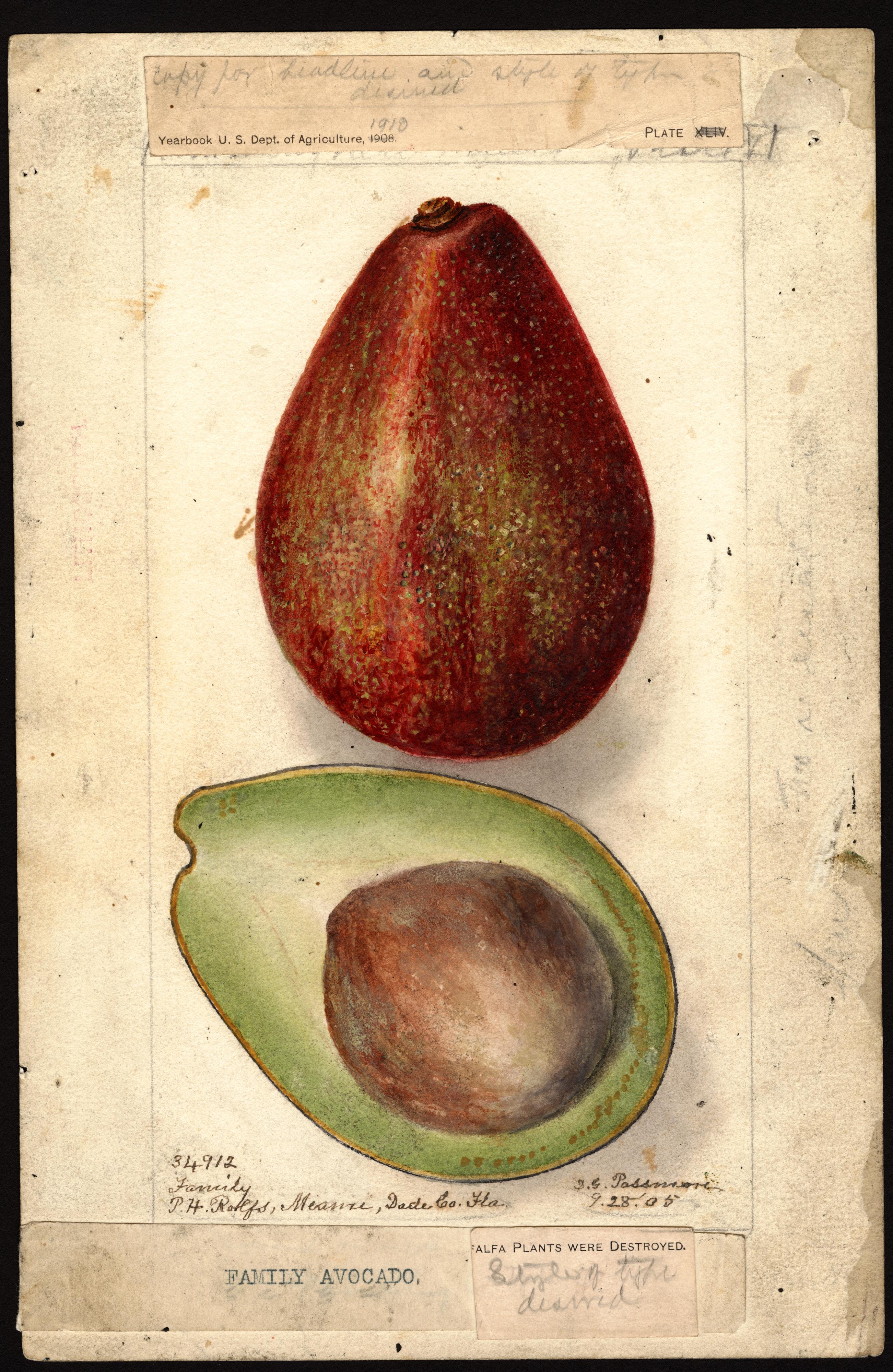 Avocado_PerseaAmericana_1905.jpg