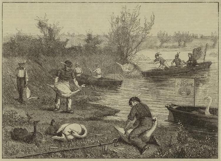 swan upping 1875.jpg