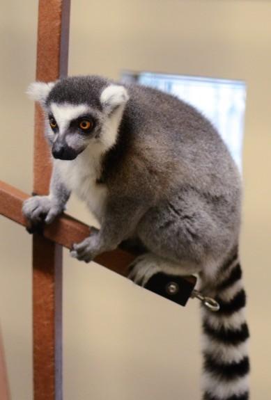 The center's lemurs help scientists understand lemur behavior and cognition.