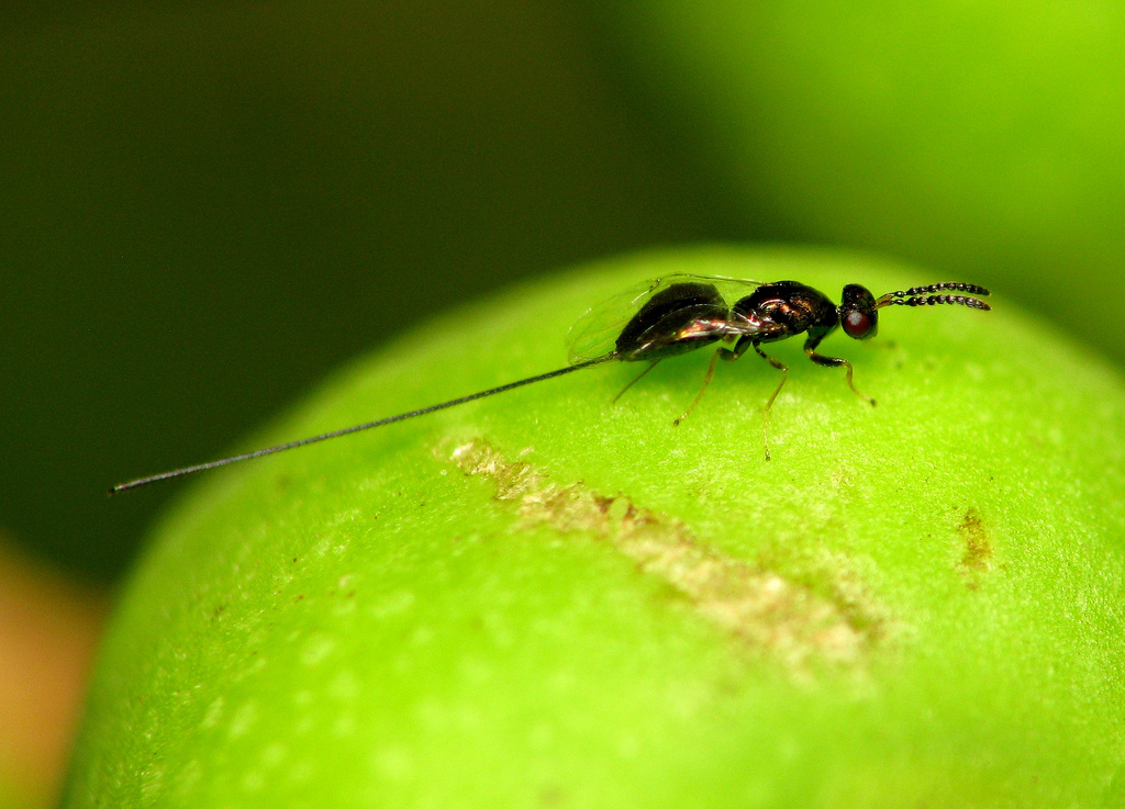 fig wasp ovipositor