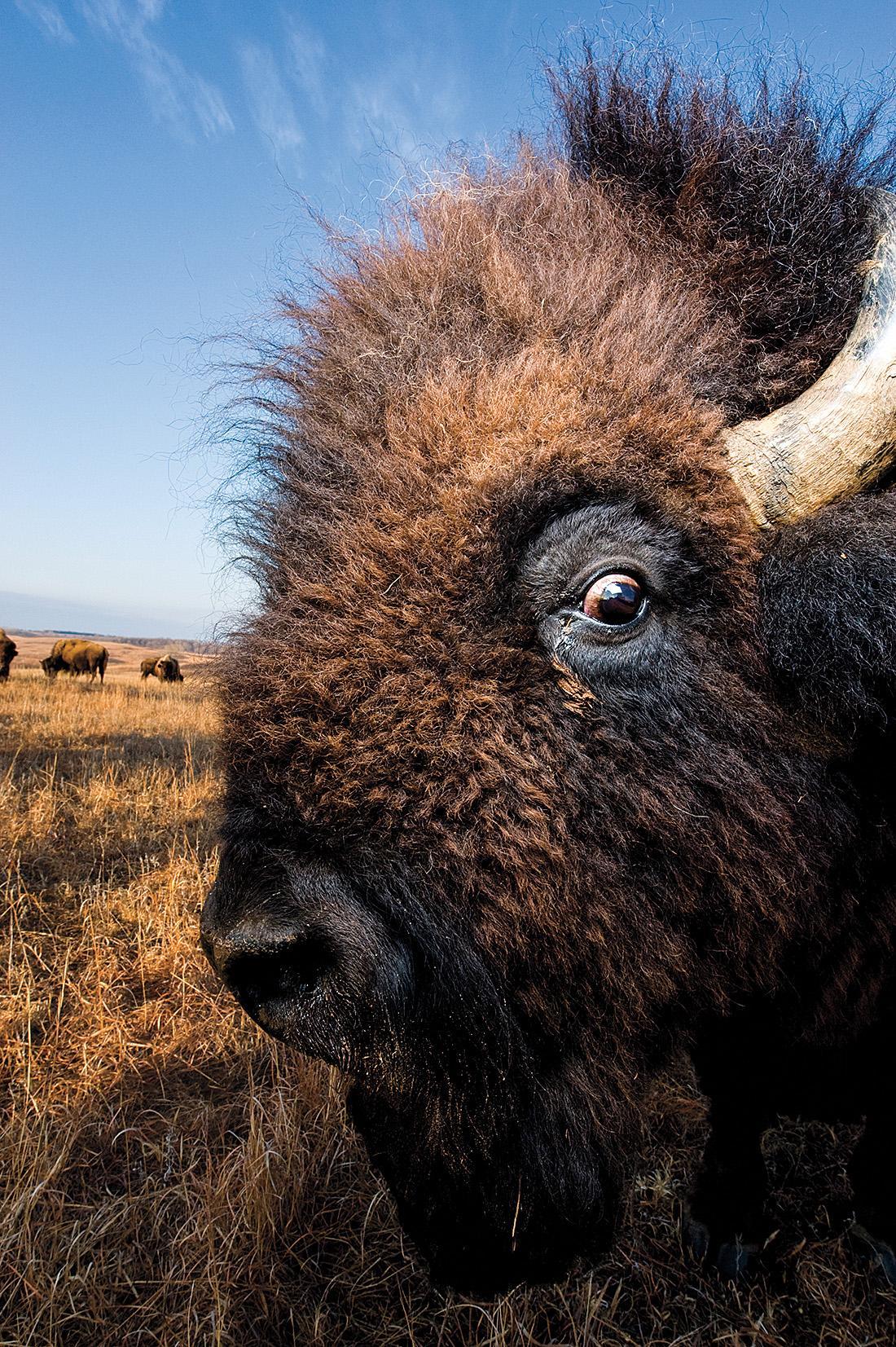 Bison close-up
