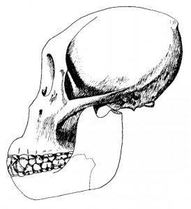 A drawing of Dryopithecus
