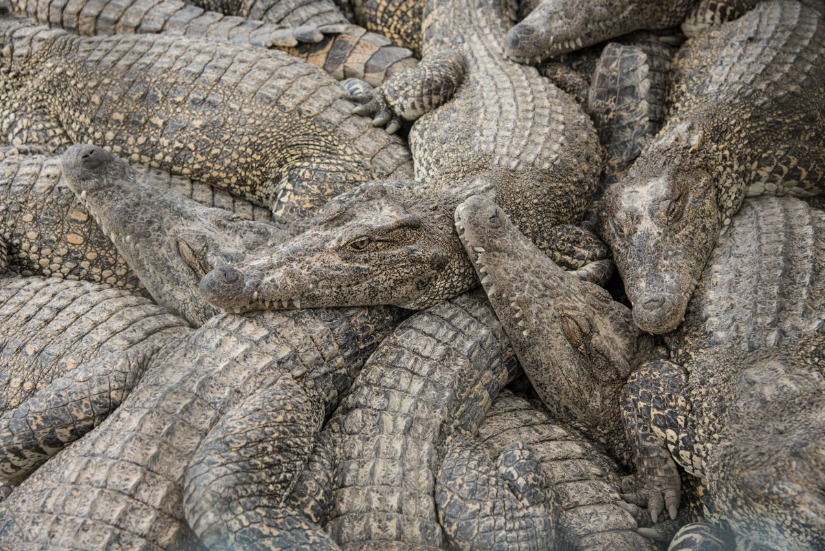 Crocodiles aren't known for being social