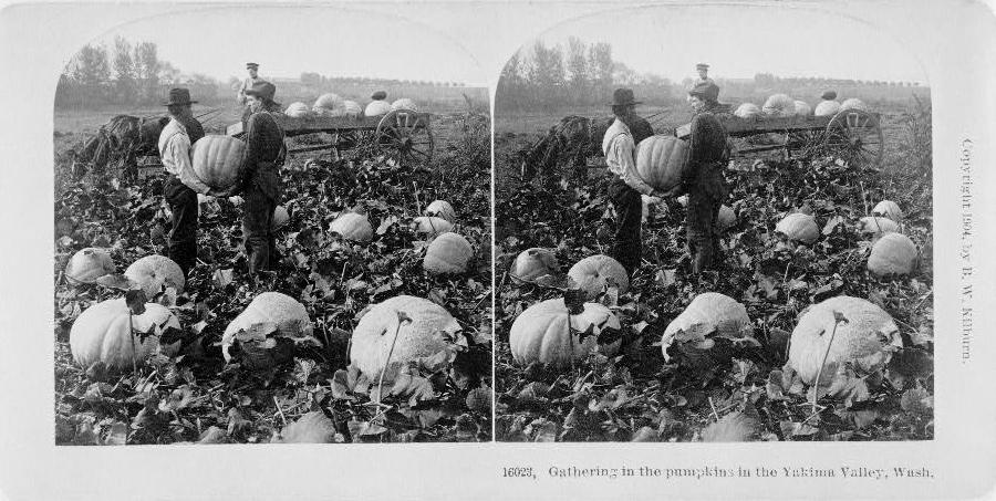 Harvesting pumpkins in Yakima Valley, Washington, 1904