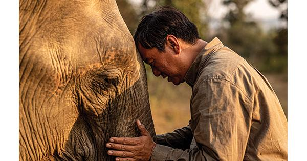 Ecologist and Smithsonian associate Aung Myo Chit soothes an elephant in Myanmar after it was fitted with a collar.