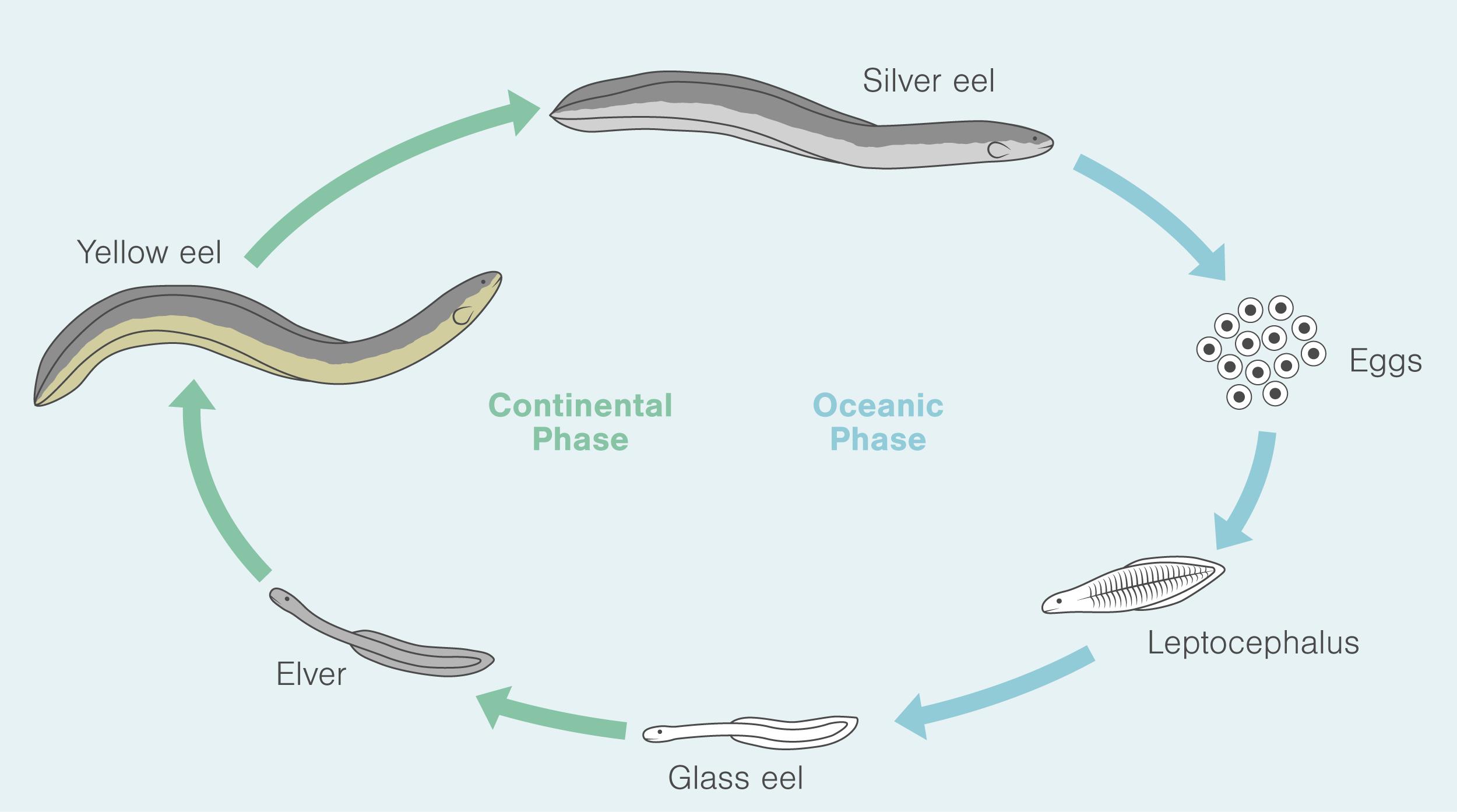 American eels