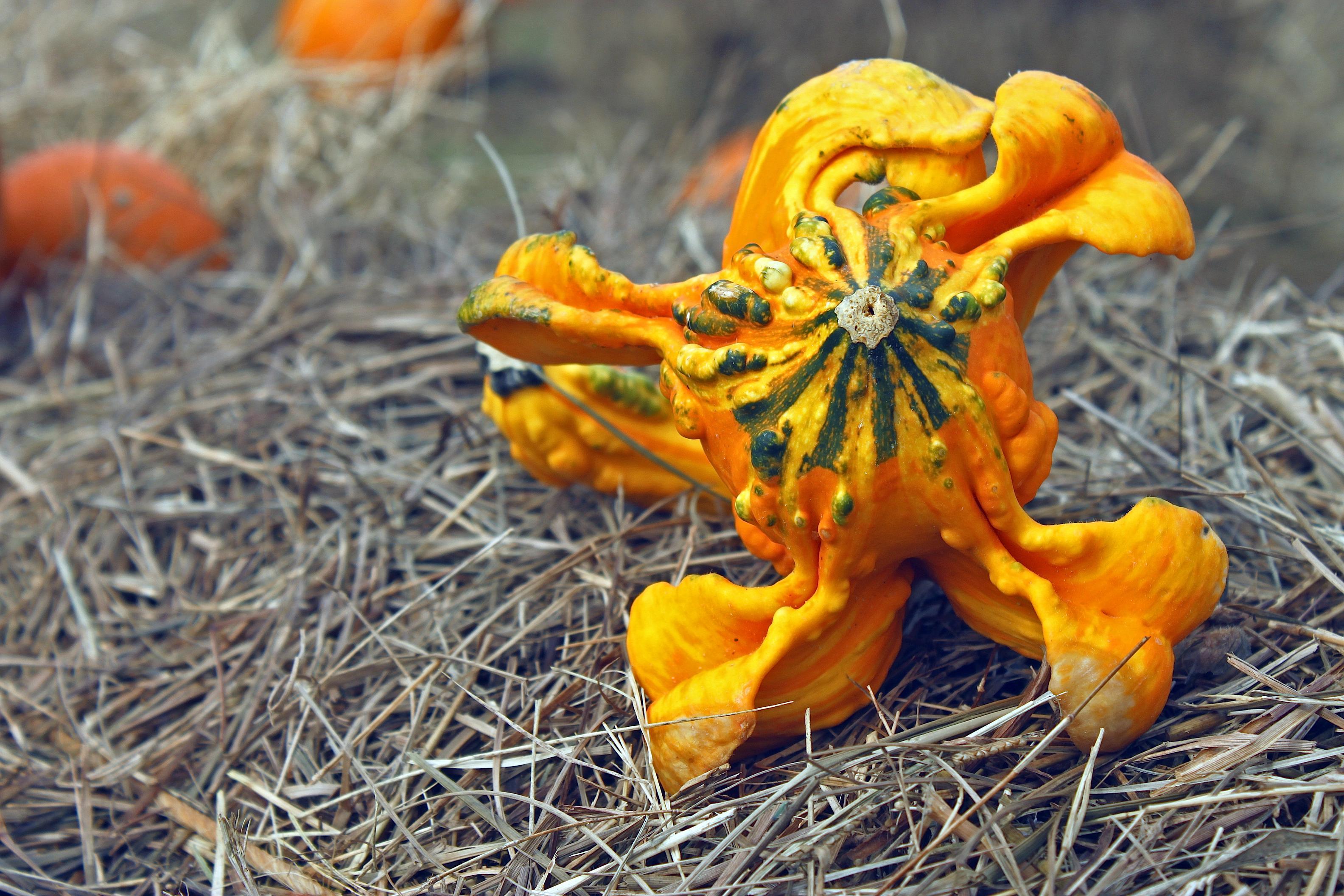 Lumpy Gourd