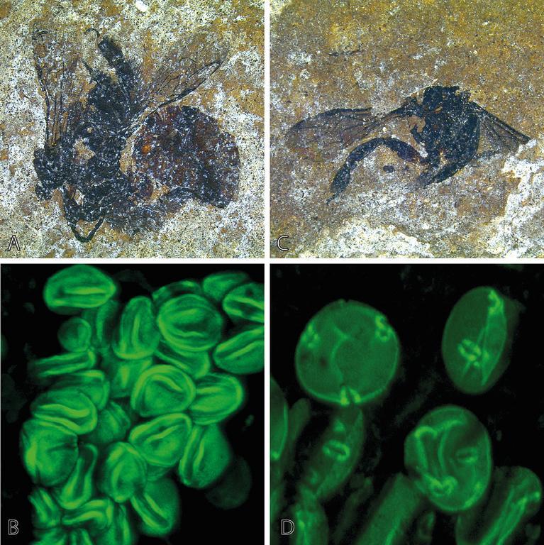 fossil-bees.jpg