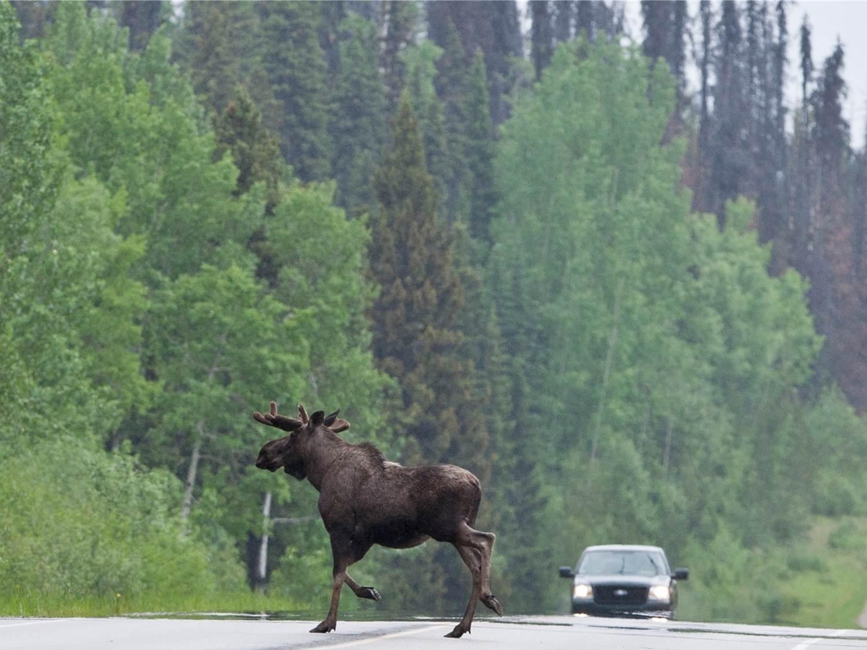 moose on road.jpg