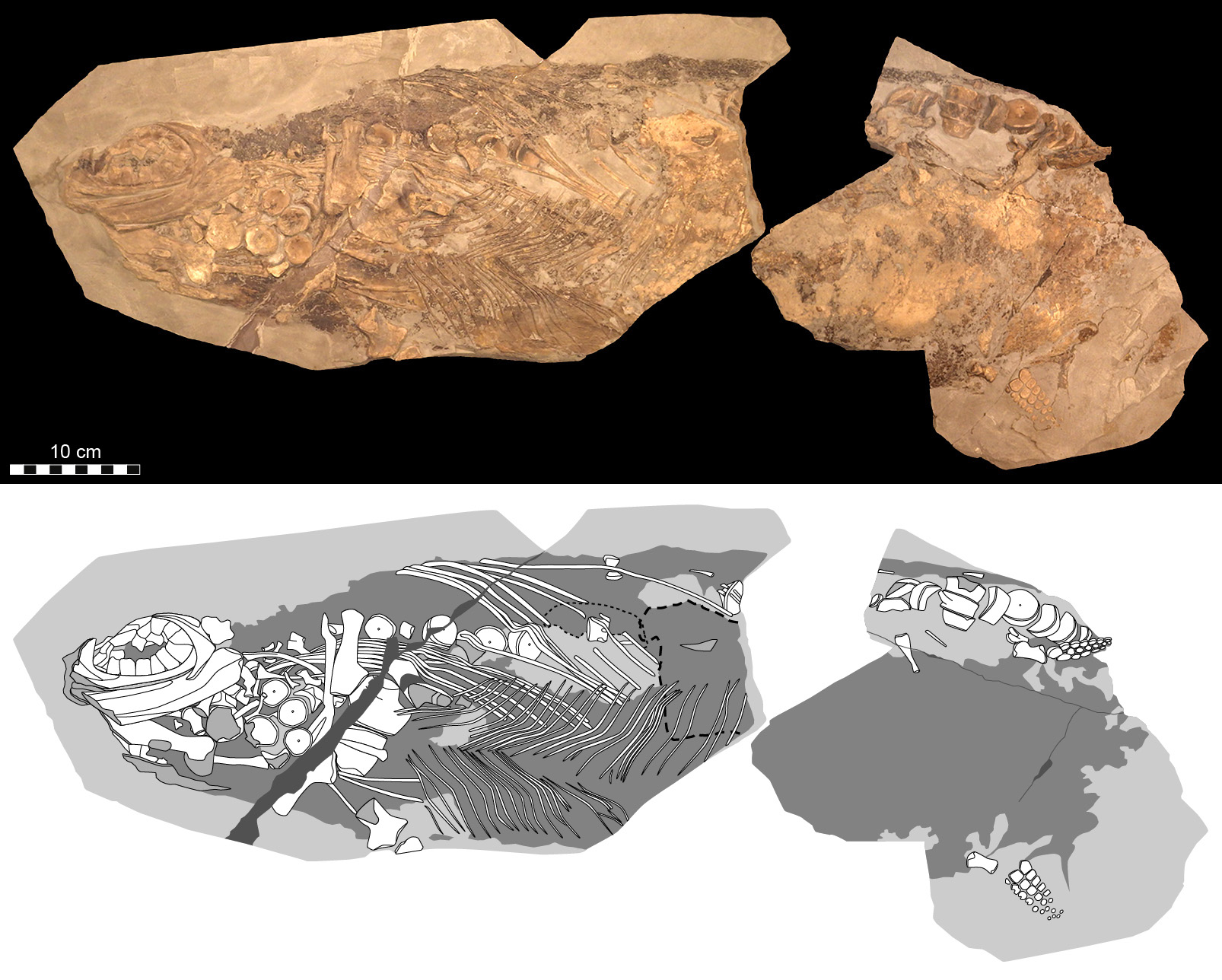 Like Whales and Dolphins, Prehistoric 'Fish Lizards' Kept Warm With Blubber - Smithsonian - whales, smithsonian, prehistoric, lizards, dolphins, blubber