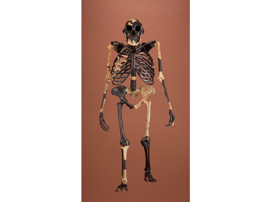 Australopithecus afarnensis
