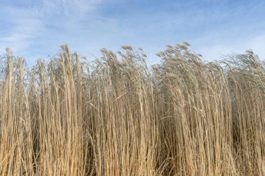 Carrizo-Cane-Giant-Reed-Biofuel-519x346.jpg