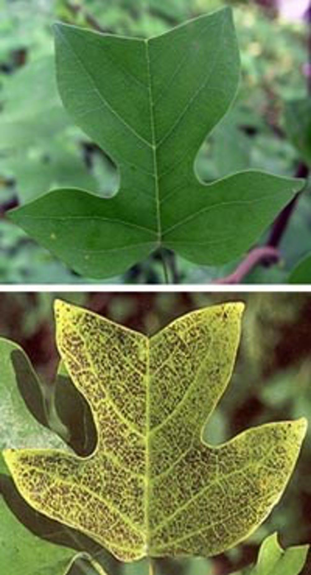 Healthy (top) and ozone-injured (bottom) tulip tree (yellow poplar) foliage.
