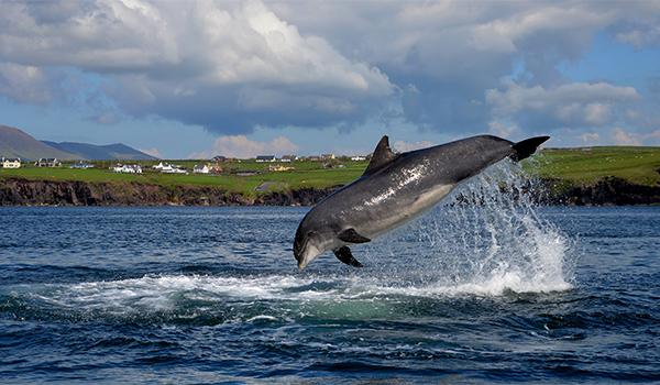 Nobody knows when Fungie, a solitary cetacean, arrived in the waters off Dingle, a town on the southwest coast of Ireland.