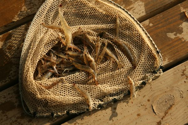 Shrimp at Campos Marina