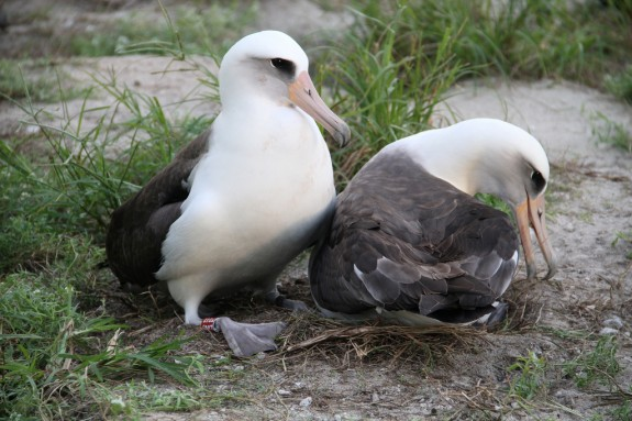 Wisdom, left, and her mate at the Midway Atoll National Wildlife Refuge