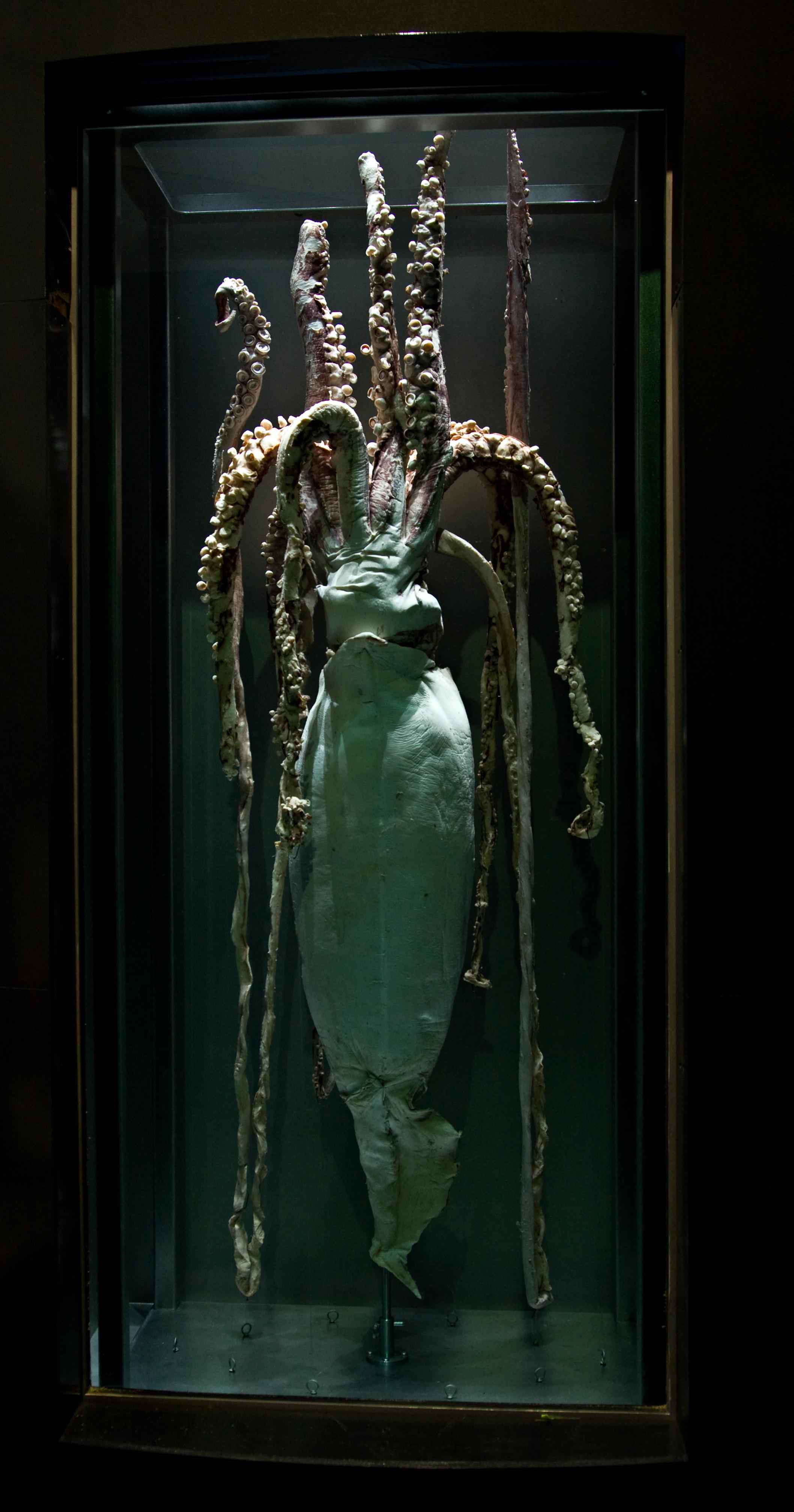 male giant squid national museum of natural history