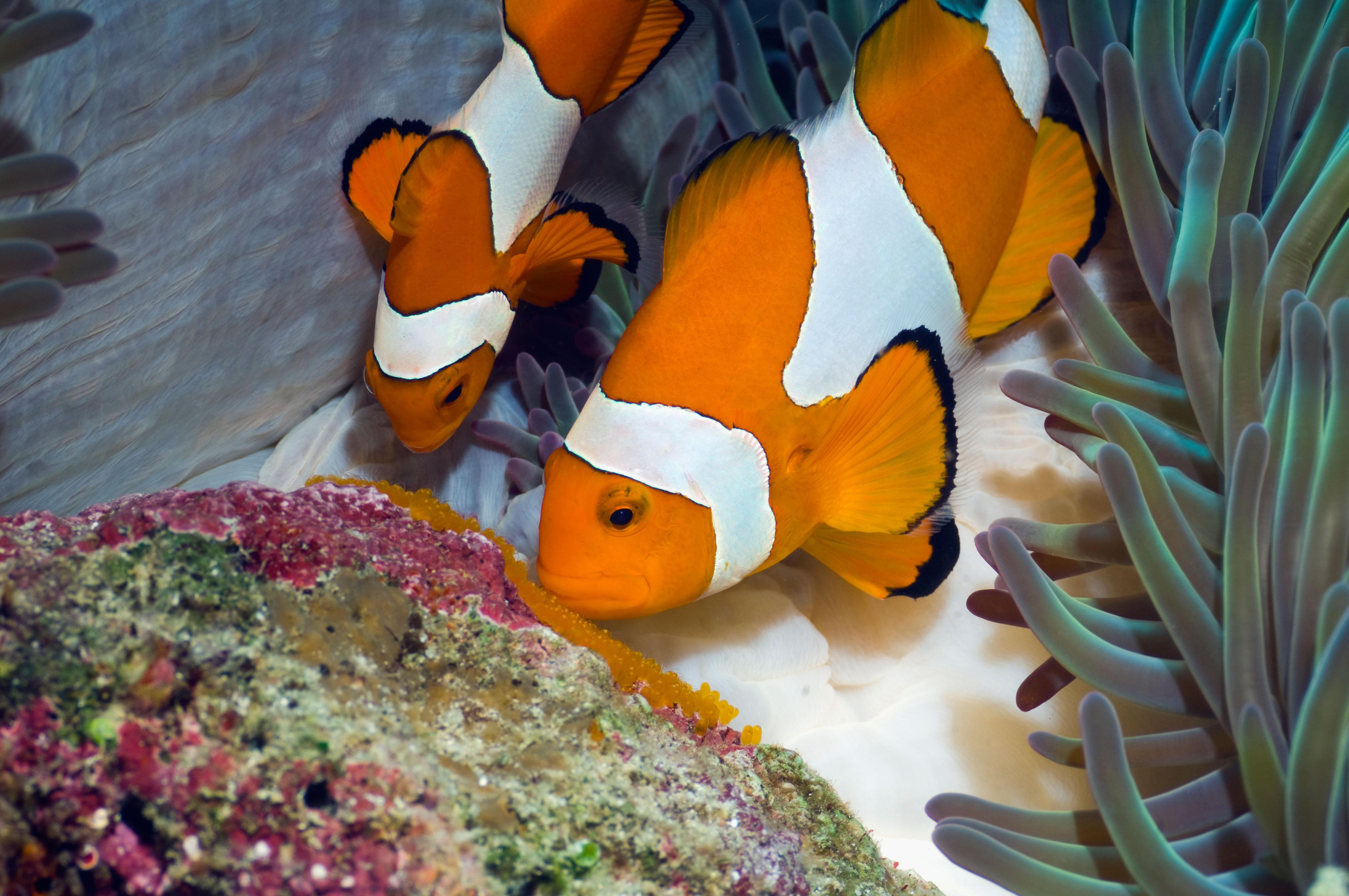 clownfish eggs