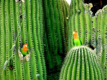 Lovebirds cactus