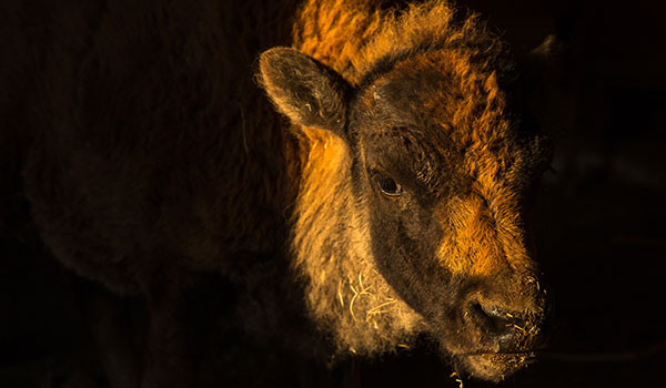 This bison calf, standing in the doorway of a barn on the Blackfeet Reservation, is a symbol of hope for the Blackfoot people.