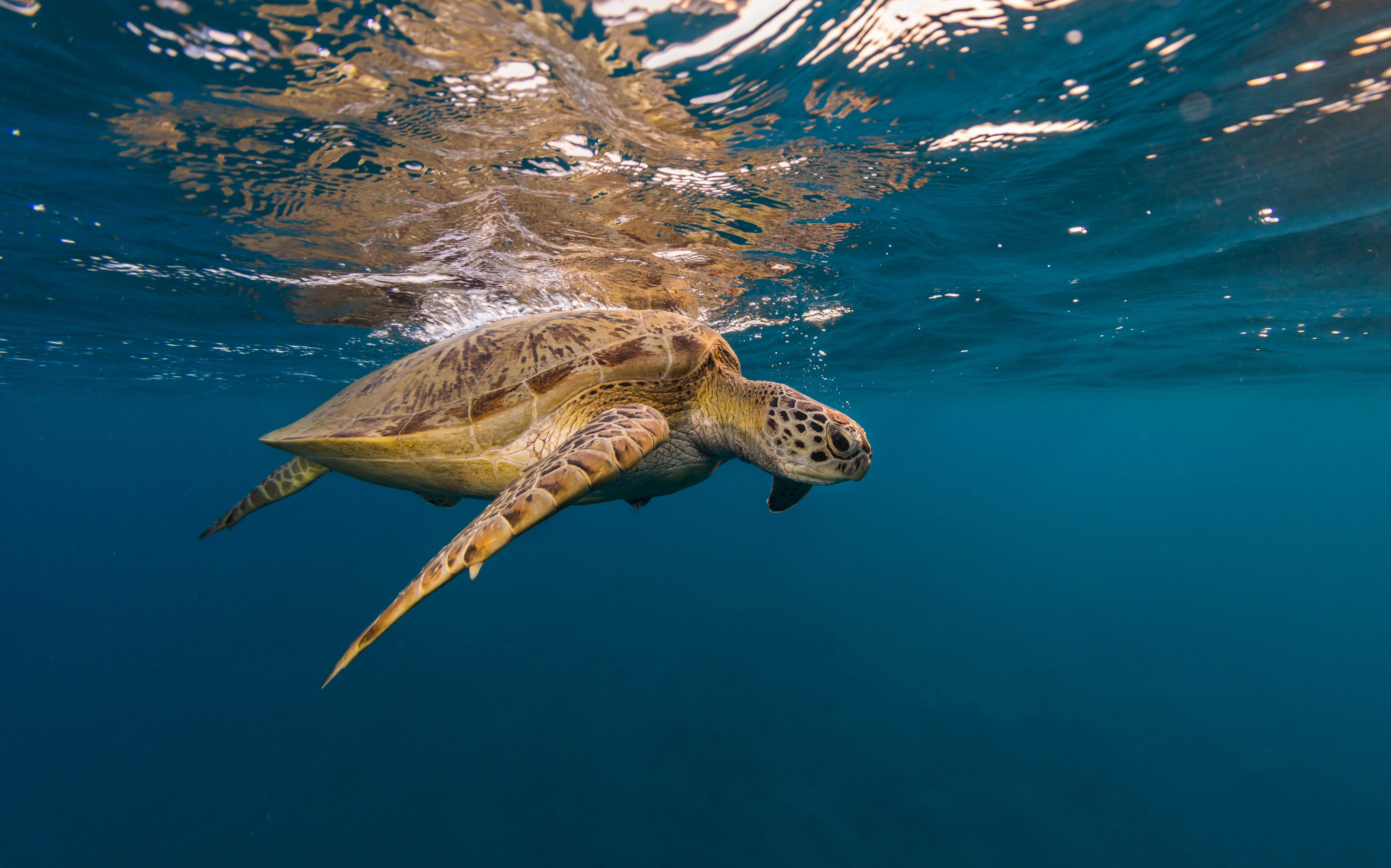 Hawksbill turtle trying to breath