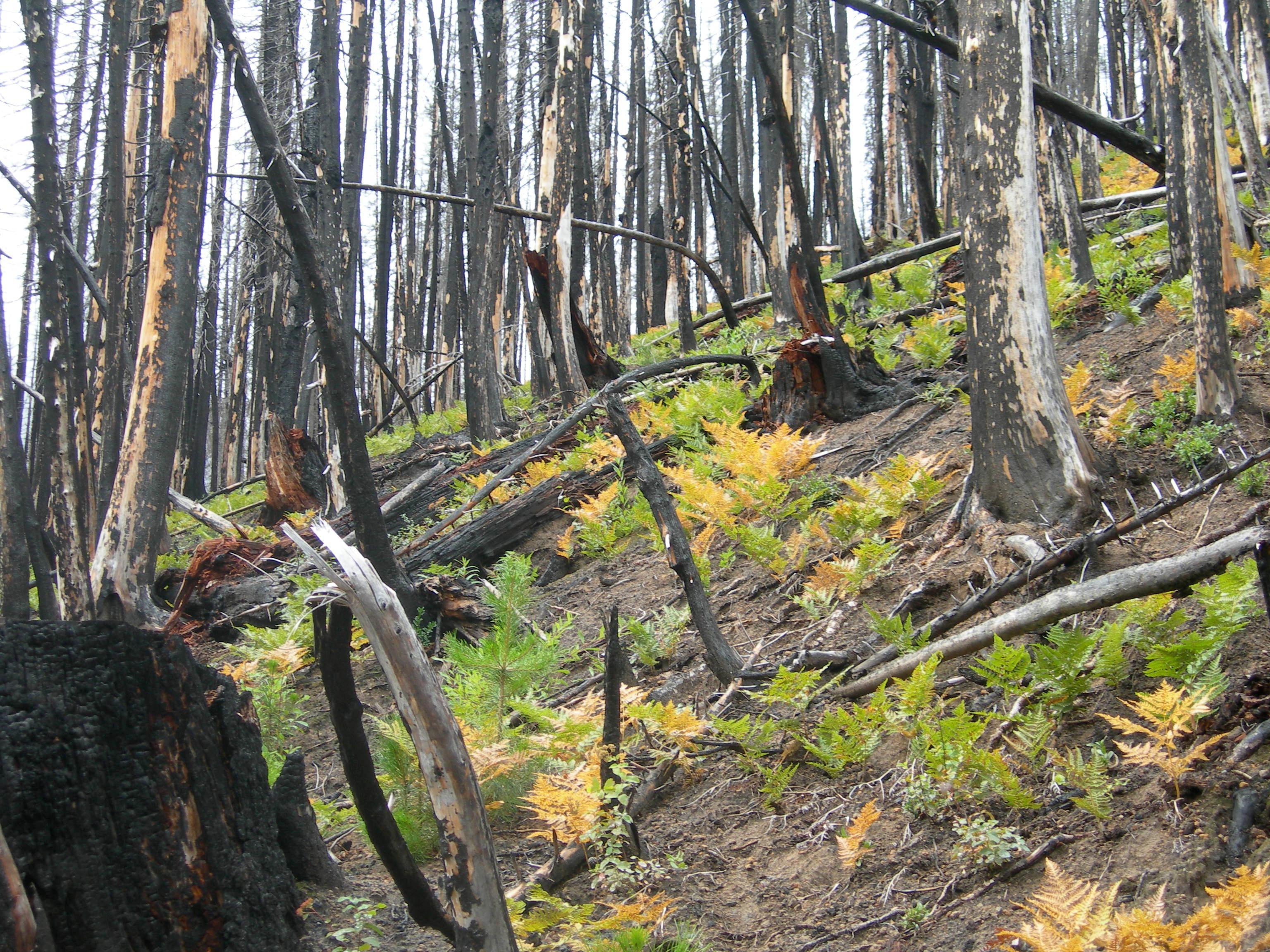 Ferns in the burned forest (c) Regan Dunn, The Field Museum.JPG