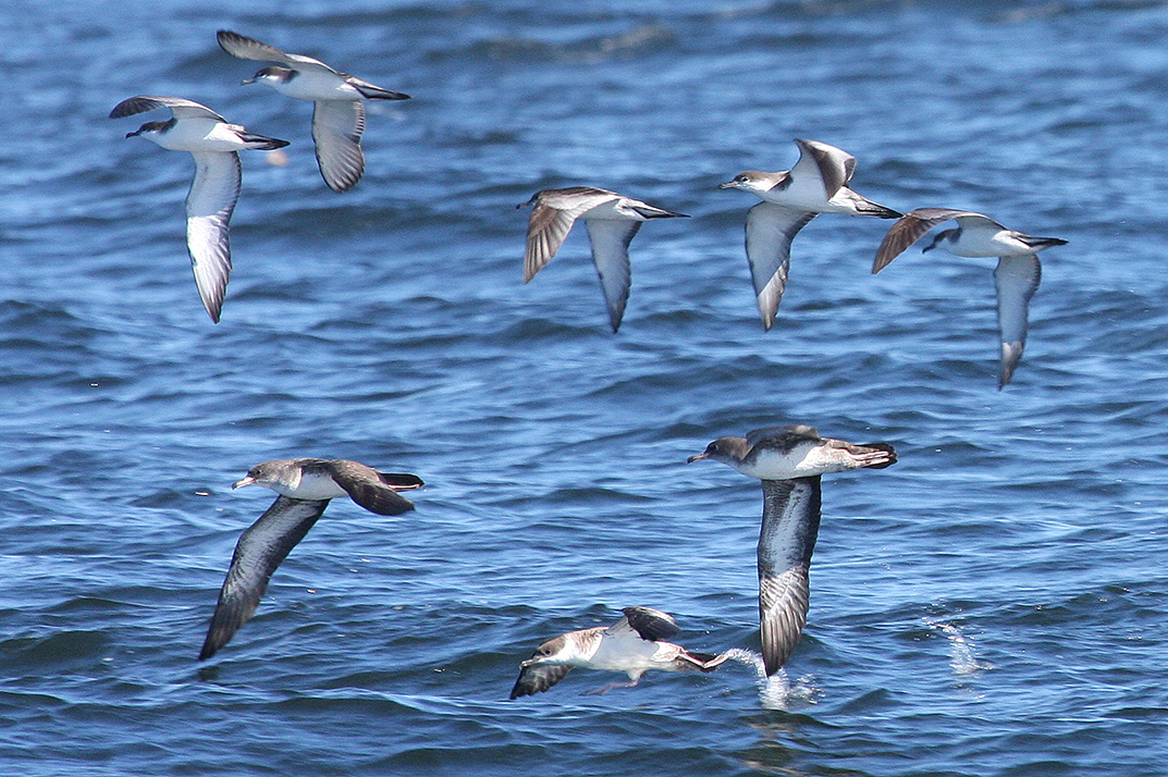 Great Shearwater with Buller's Shearwaters